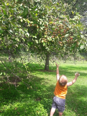messy boy reaching for the crab apples